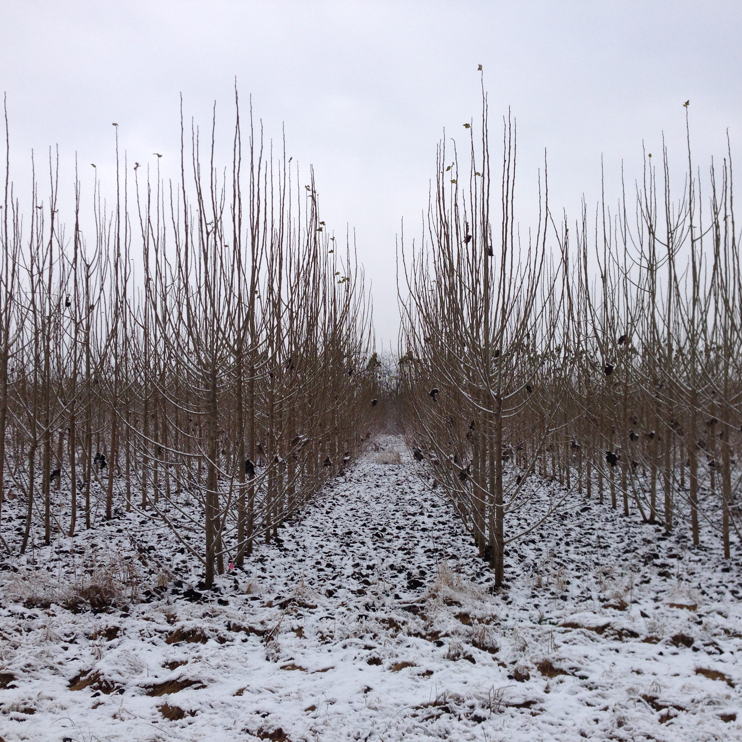 poplar orchard in winter with snow on ground