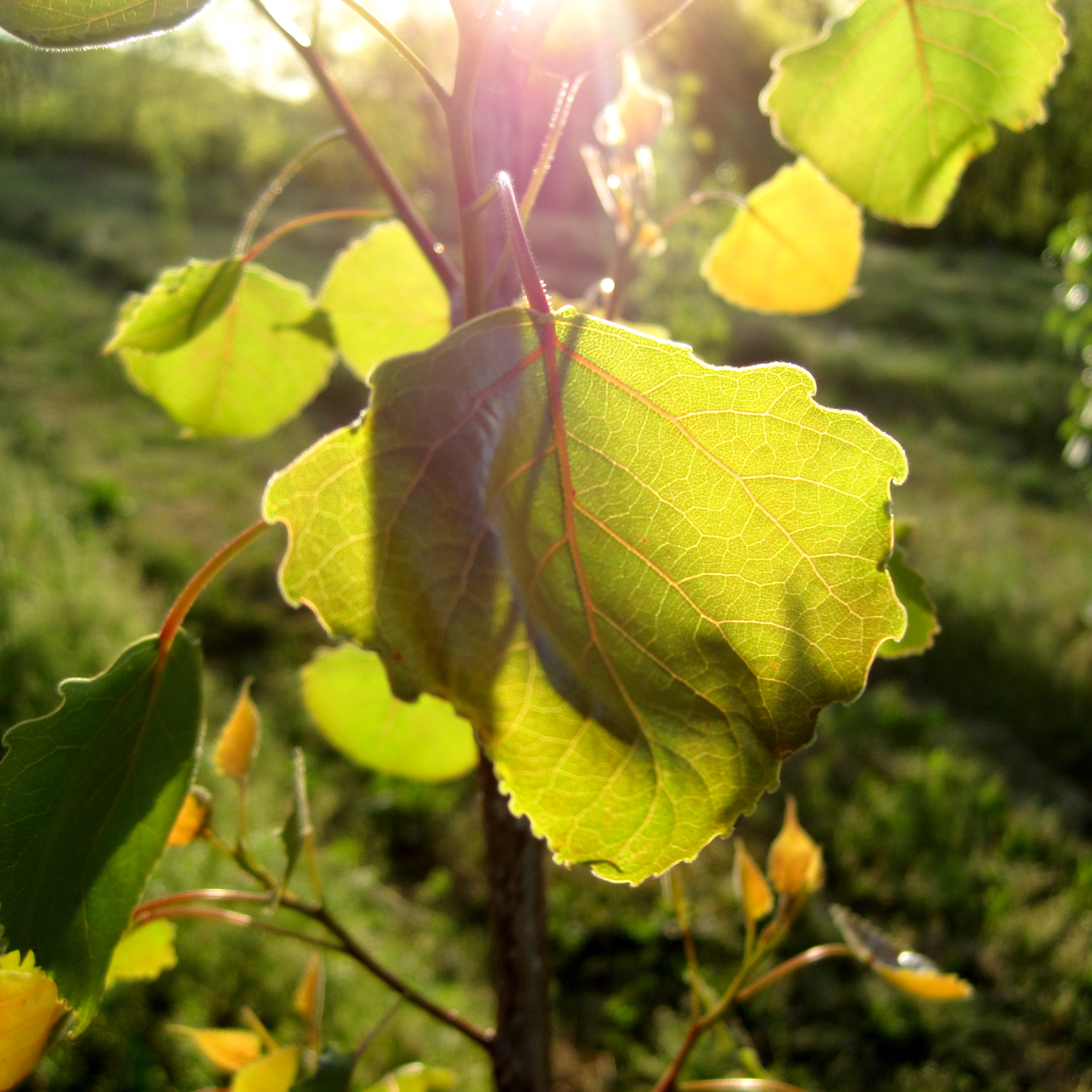 poplar seedling